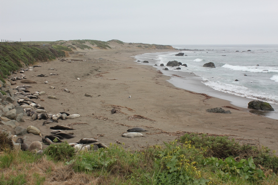 Elephant Seal Cubs Sleeping on the Beach