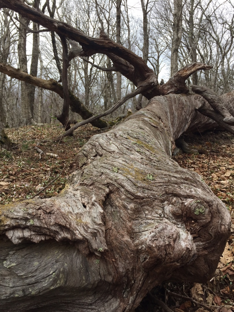 A fallen tree alongside the Appalachian Trail