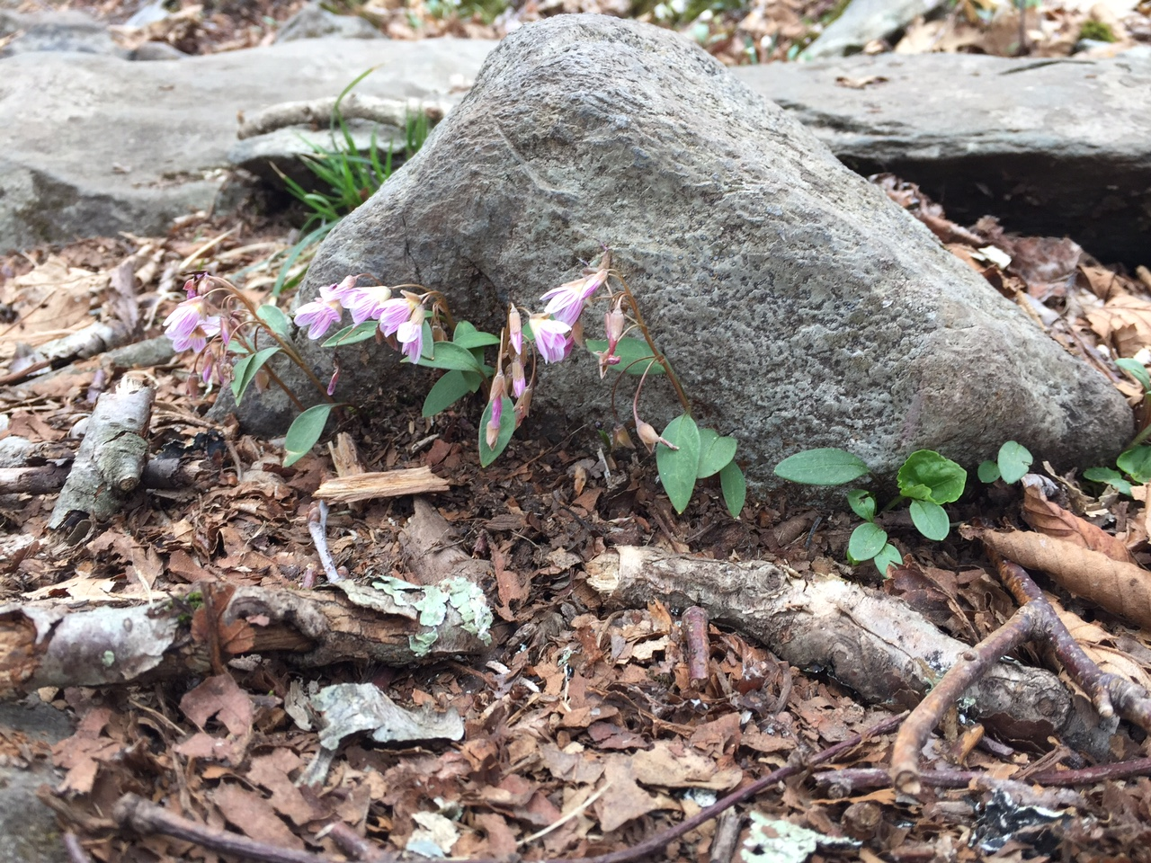 Flowers alongside the Appalachian Trail